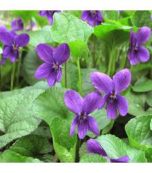 Fialka voňavá Kráľovná Šarlota - Viola odorata - semená - 50 ks