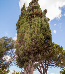 Cypruštek portugalský - Cypressus lusitanica - semená - 7 ks