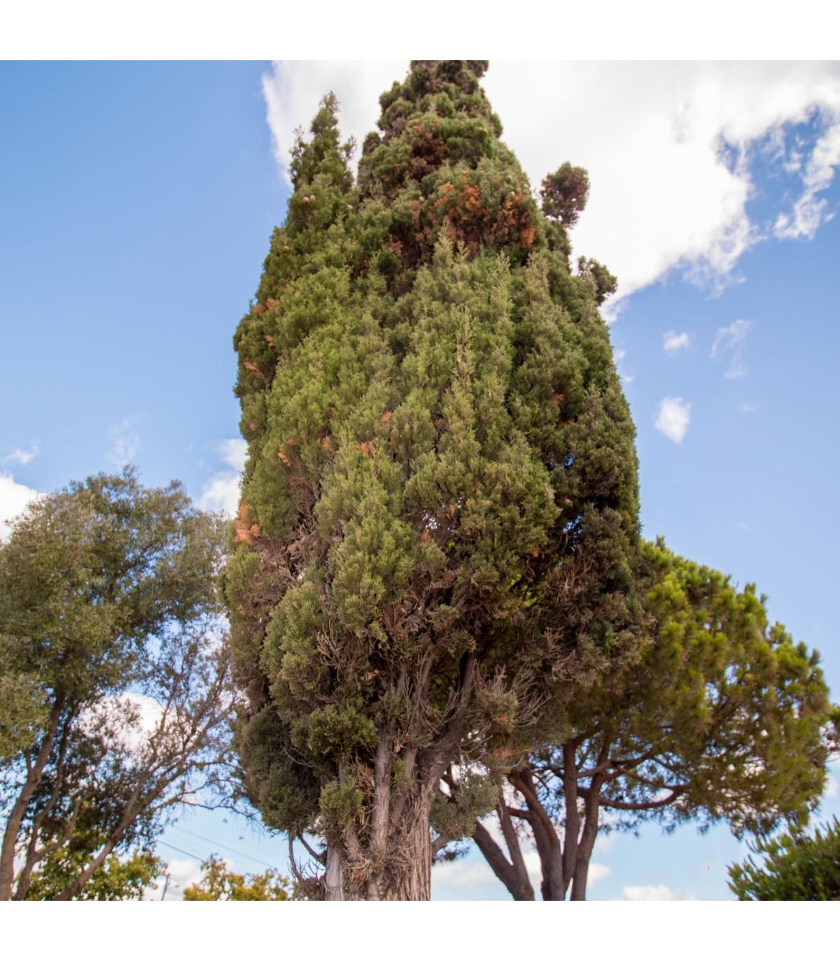Cypruštek portugalský - Cypressus lusitanica - semená cyprušteka - semiačka - 7 ks