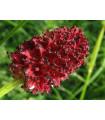 Krkavec lekársky - Sanguisorba officinalis - semená krkavca - semiačka - 8 ks