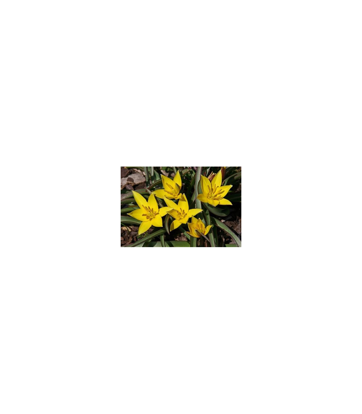 Tulipán Urumiensis - cibule tulipánu - cibuľky - 4 ks