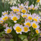 Tulipán Bakerii Lilac Wonder - Tulipán saxatilis - cibule tulipánu - cibuľky - 3 ks