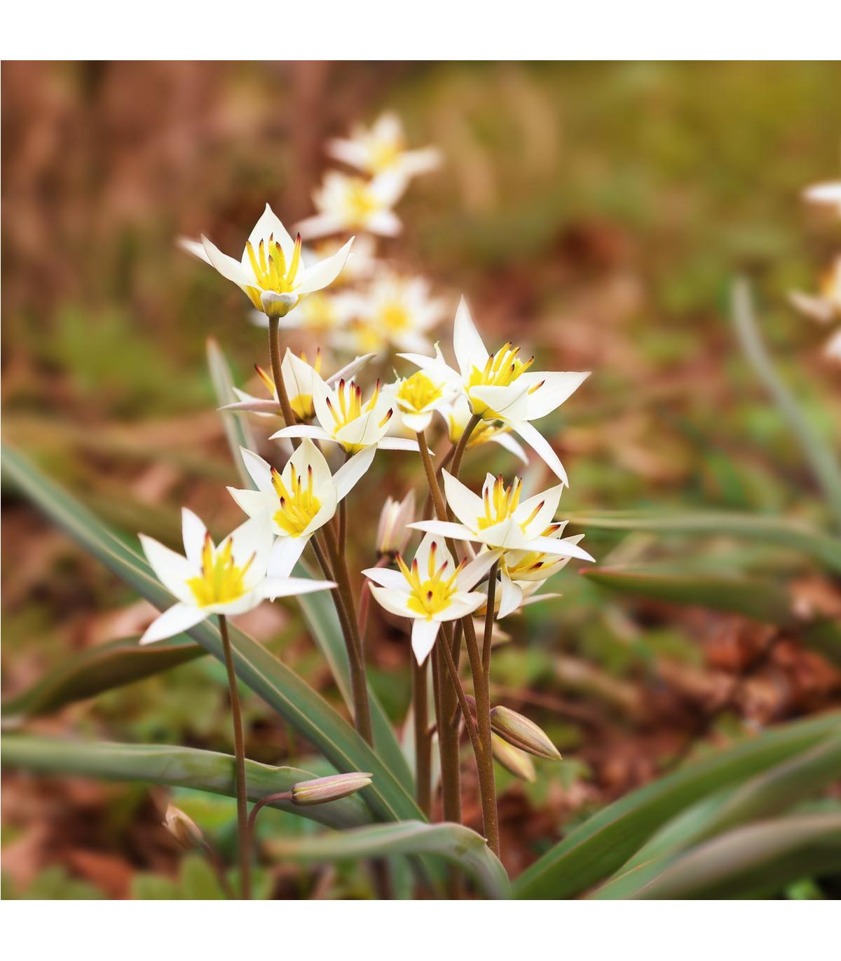 Tulipán turkestánky - cibule tulipánu - cibuľky - 3 ks