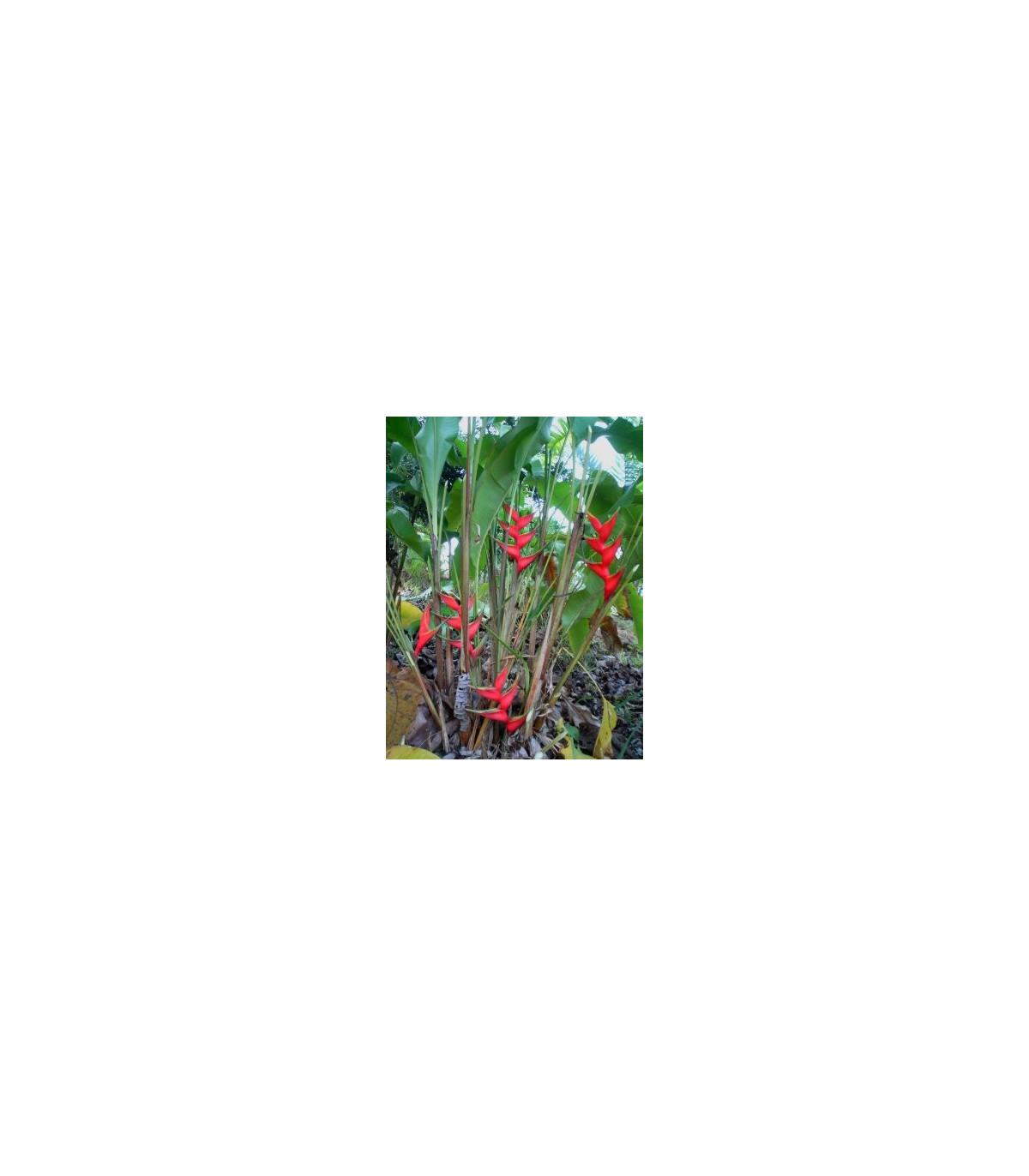 Helikónia - Heliconia aemygdiana - semená - 5 ks
