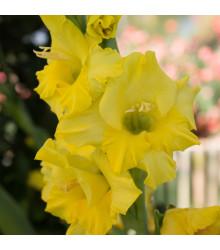 Mečík žltý - Gladiolus Gold - gladioly - cibuľoviny - 3 ks