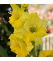 Gladiola Gold žltý - cibule gladioly - cibuľky - 3 ks