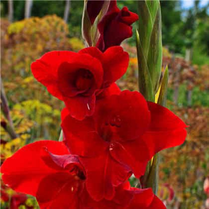 Mečík červený - Gladiolus Nanus Mirela - gladioly - cibuľoviny - 3 ks