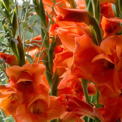 Mečík oranžový - Gladiolus - gladioly - cibuľoviny - 3 ks
