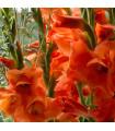 Gladiola pomarančová - cibule gladioly - cibuľky - 3 ks