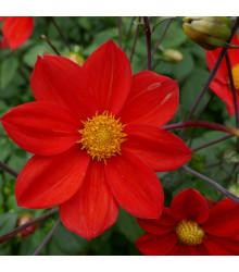 Georgína Topmix červená - Dahlia - cibuľoviny - 1 ks