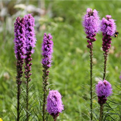 Fakľovka purpurová - liatra klasnatá - Liatris spicata - cibuľky liatry - 5 ks