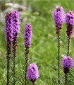 Liatra klasnatá purpurová - fakľovka - Liatris spicata - cibuľoviny - 5 ks