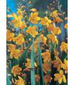Montbrécie - Krokosmia žltá - cibule - cibuľky - 4 ks