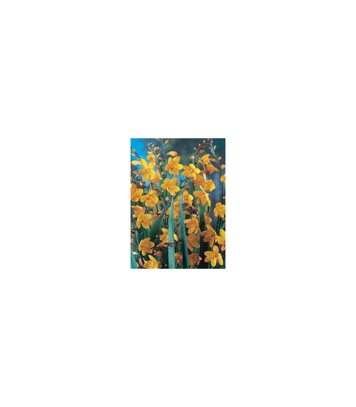 Montbrécia George žltá - Crocosmia - cibuľoviny - 4 ks