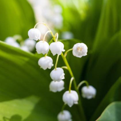 Konvalinka voňavá biela - Convallaria majalis - cibuľoviny - 1 ks