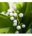 Konvalinka voňavá - Convallaria majalis - cibule konvalinky - cibuľky - 2 ks