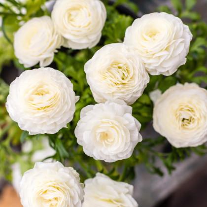 Iskerník plnokvetý biely - Ranunculus asiaticus - cibuľoviny - 3 ks