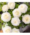 Iskerník plnokvetý biely - Ranunculus asiaticus - cibule iskerníka - cibuľky - 3 ks
