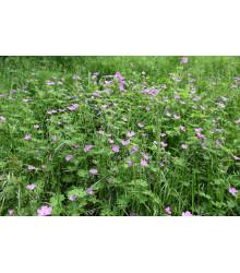 Pakosť smradľavý - Geranium robertianum - semená pakosti - semiačka - 10 ks