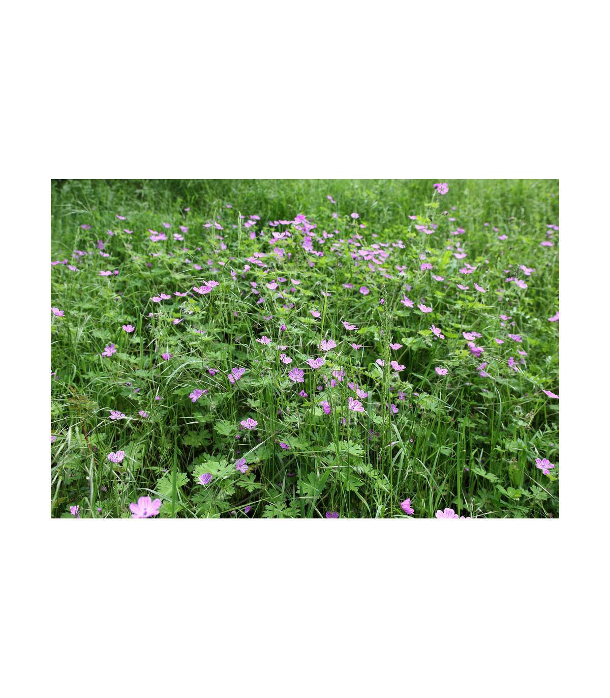 Pakost smradľavý - Geranium robertianum - semená - 10 ks
