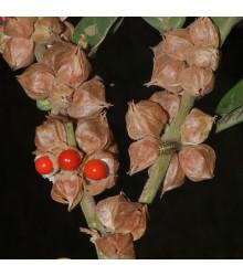More about Ženšen indický - Withania somnifera - semená ženšenu - semiačka - 7 ks