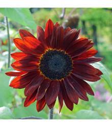 Slnečnica ročná F1 červená Double dandy - Helianthus annuus - semená - 6 ks