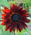 Slnečnica ročná F1 červená Double dandy - Helianthus annuus - semená slnečnice - semiačka - 6 ks
