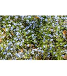 Nezábudka alpínska zakrpatená - Myosotis alpestris - semená - 700 ks
