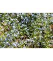 Nezábudka alpínska zakrpatená do nádoby - Myosotis alpestris - semená - 700 ks