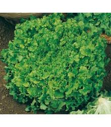 Šalát na česanie - Lactuca sativa - semená šalátu - semiačka - 1 gr