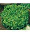 Šalát na česanie - Lactusa sativa - semená šalátu - semiačka - 1 gr