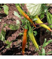 Chilli maďarský vosk - semená chilli - semiačka - 6 ks