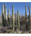 Saguaro - Carnegiea gigantea - semená kaktusu - semiačka - 5 ks