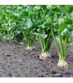Zeler buľvový - semená zeleru - semiačka - 20 ks