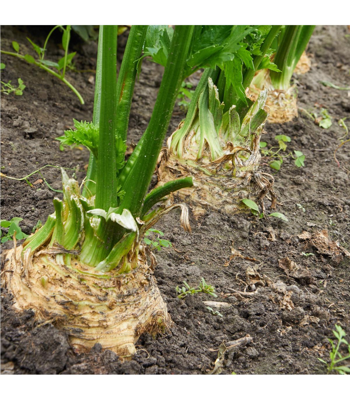 BIO zeler buľvový Princ - Apium graveolens  - bio semená zelera - 20 ks
