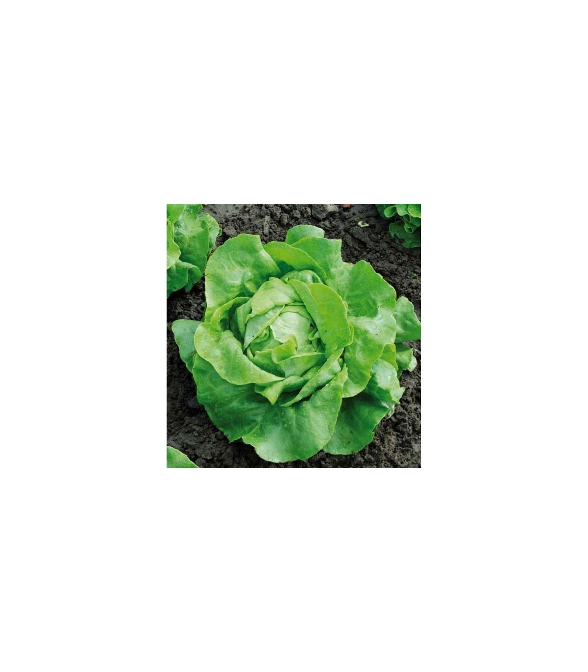 BIO Šalát hlávkový Nel - Lactusa sativa - semená šalátu - semiačka - 0,1 gr