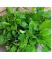 Mix provensálskeho šalátu - semená šalátu - semiačka - 0,1 gr