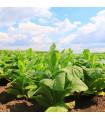 Tabak Kentucky - Nicotiana tabacum - semená tabaku - semiačka - 20 ks