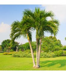 Palma skrútená - Dypsis prestoniana - semená - 3 ks