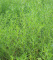 Slanobyľ - Salsola komarovii - semená slanobyľu - semiačka - 1 gr