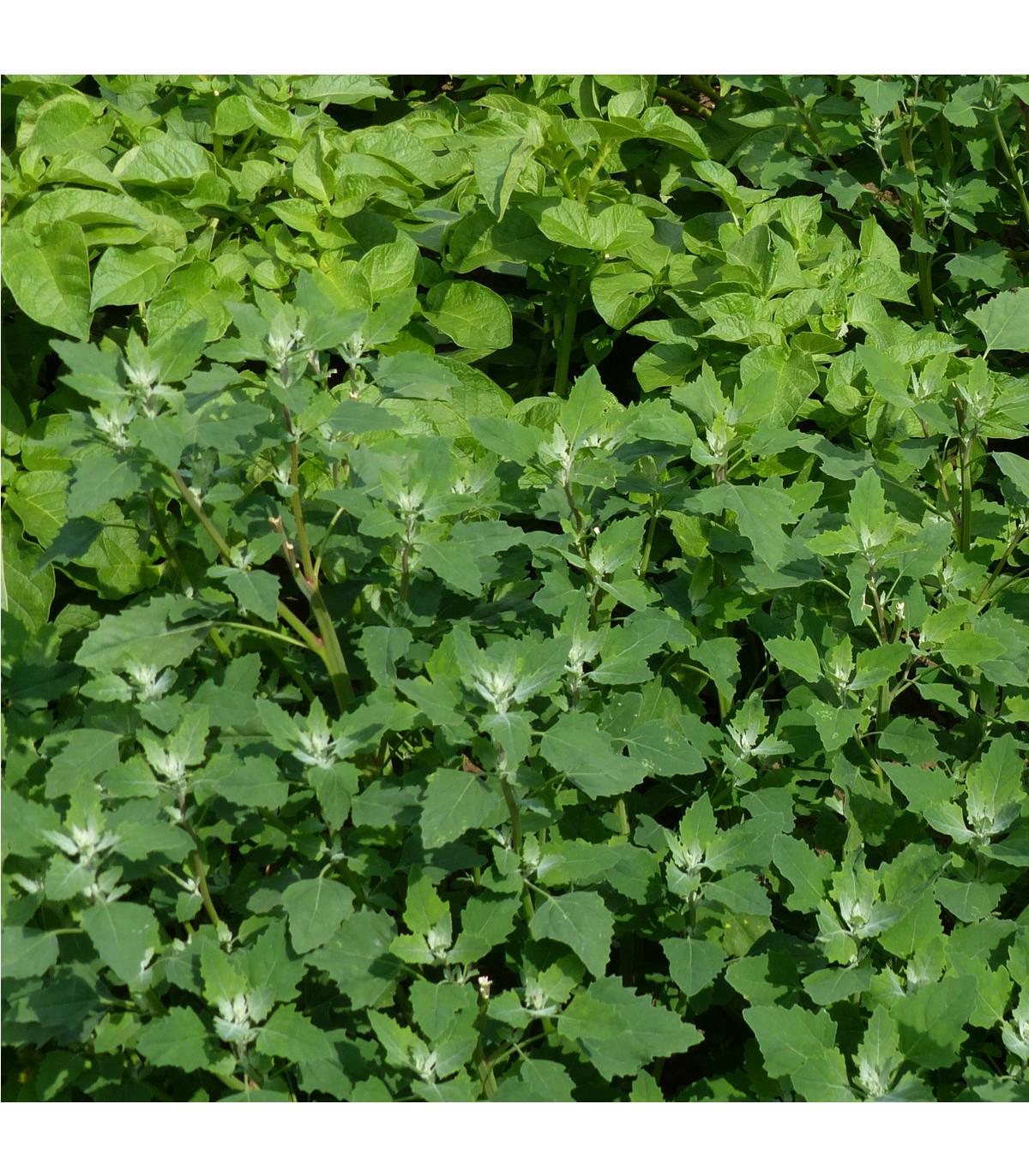 Loboda záhradná - Atriplex hortensis - semená lobody - semiačka - 0,5 gr