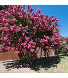 Krepová myrta - Lagerstroemia indica - bonsaj - semená myrty - 6 ks