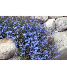 Lobelka drobná Kaiser - Lobelia erinus compacta - semená - 0,1 g