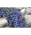 Lobelka drobná Kaiser - Lobelia erinus compacta - semená lobelky - semiačka - 0,1 gr