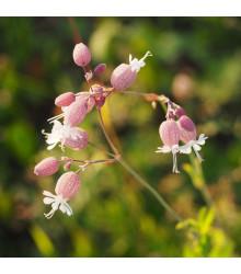Silenka nadutá - Silene vulgaris - semená silenky - semiačka - 0,5 gr