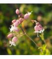 Silenka obyčajná - Silene vulgaris - semená - 0,5 g