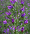Hadinec skorocelový - Echlum plantagineum - semená hadinca - semiačka - 0,5 gr