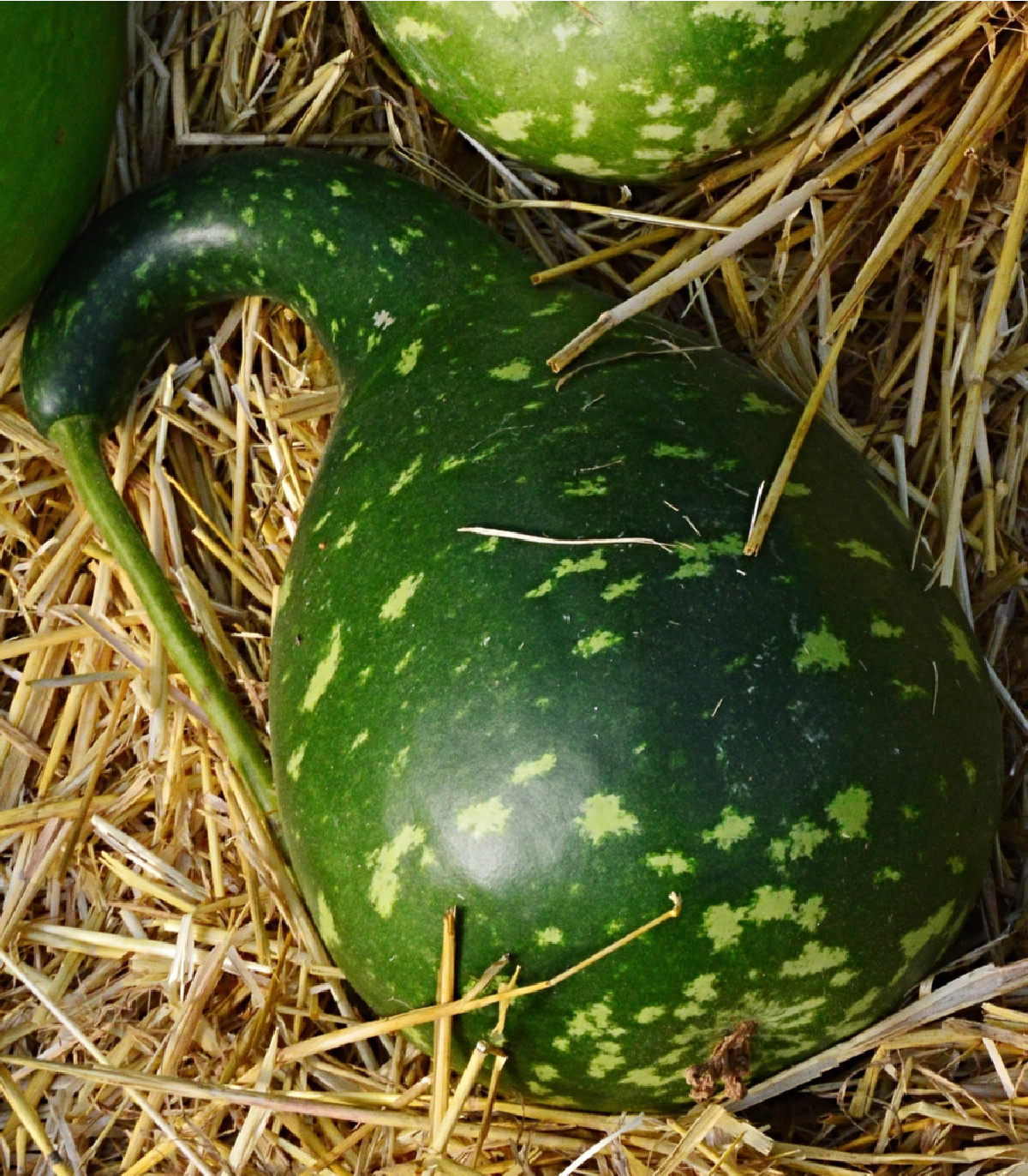 Okrasná tekvica Cobra - Lagenaria siceraria - semená tekvice - semiačka - 5 ks