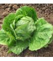 Šalát hlávkový letný - Kagraner - semená šalátu - semiačka - 300 ks