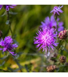 Nevädza lúčna - Centaurea jacea - semená - 200 ks